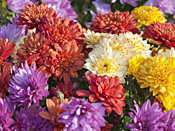 CHRYSANTHEMES